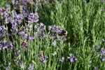 wild bee in the lavender