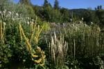 mullein, globe thistles, echinacea