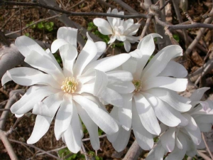Royal Star Magnolia. missouri botanical garden
