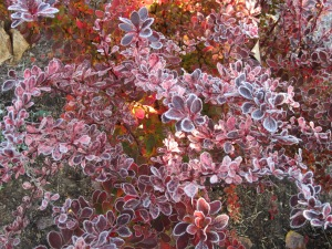 frosty barberry