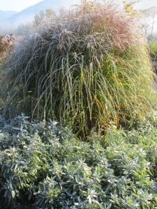 ornamental grass and garden sage
