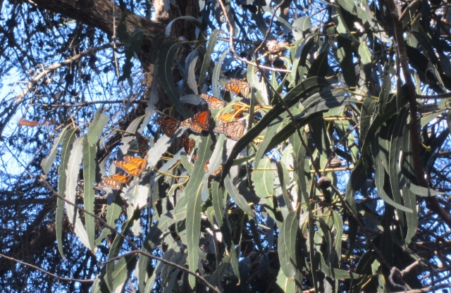 Monarch butterflies at Pismo Beach, California, January 16, 2015